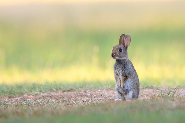 Rabbit_640