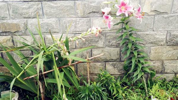 @海盐,院里的唐菖蒲和百合已经败给了几场暴雨