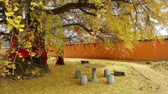 白鹿寺的千年银杏