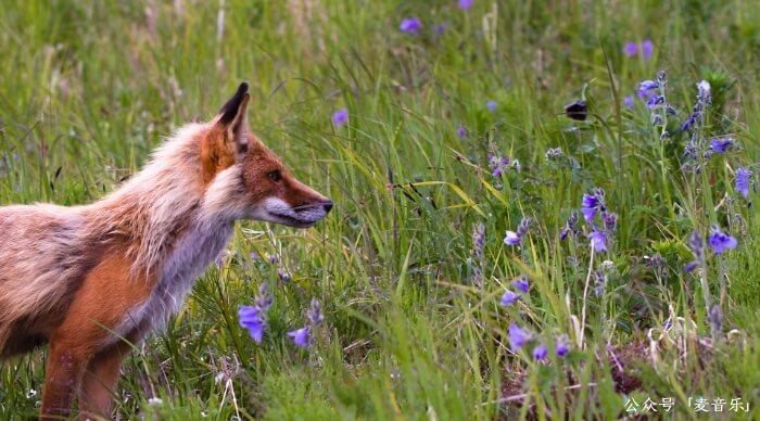 春天和狐狸